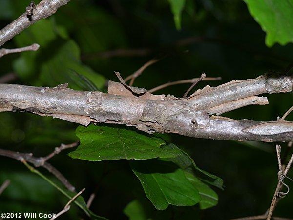 Quercus Bicolor Bark Swamp White Oak...