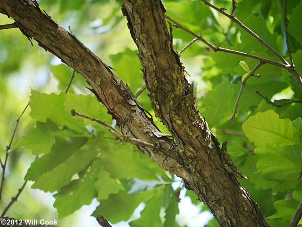 Swamp white oak quercus bicolor