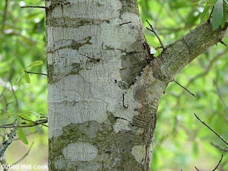 Quercus Laurifolia Leaf Sand Laurel Oak, Darli...