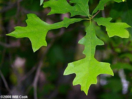 Overcup Oak (Quercus lyrata) - Great Plains Nursery