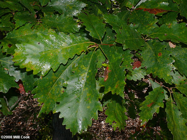 swamp chestnut oak quercus michauxii
