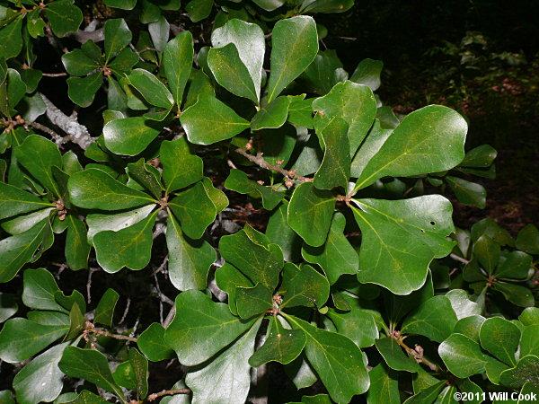 Water oak quercus nigra