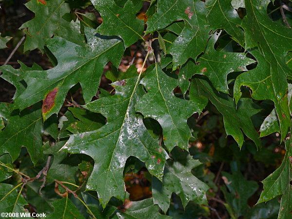 Cherrybark oak quercus pagoda