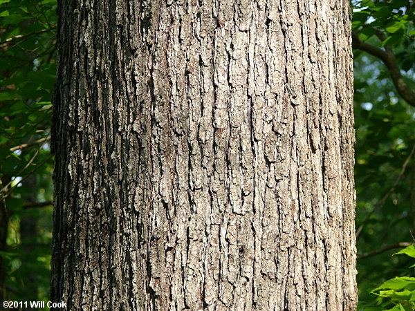 Bark of a large tree