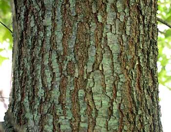 Image result for cherry bark oak tree