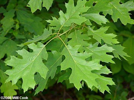 Sesbania grandiflora  Tree  Vegetable Hummingbird Agati