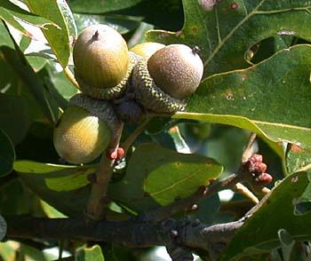 Post Oak Quercus Stellata