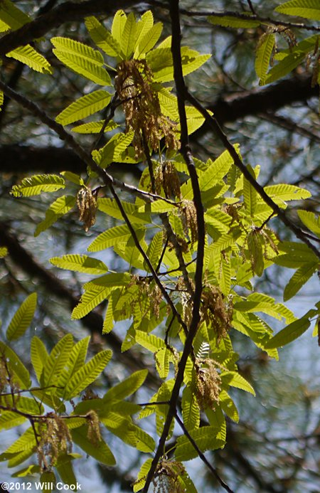Chinese Cork Oak Quercus Variabilis