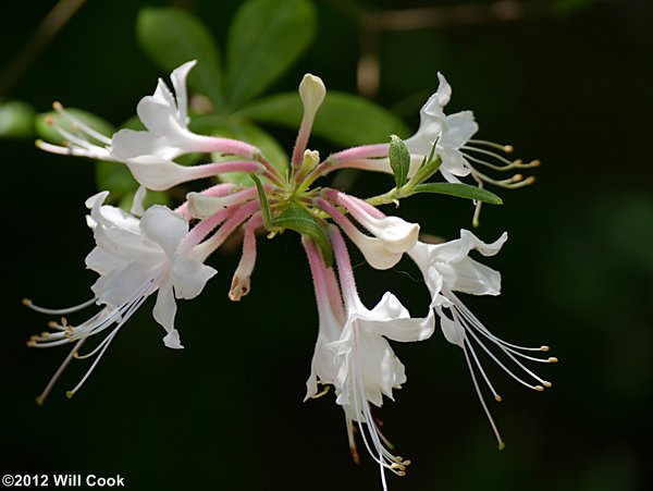 Piedmont Azalea Rhododendron Canescens