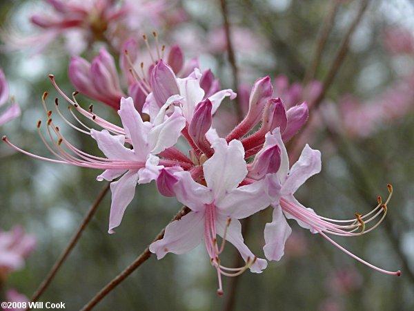 Pinxterflower Rhododendron Periclymenoides