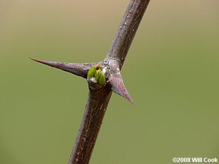 Black Locust | Robinia pseudoacacia