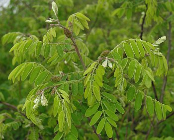 Robinia Viscosa 11833 | NANOZINE