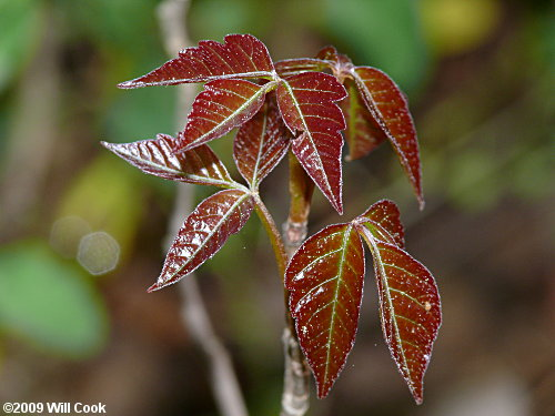 How to Identify Poison Ivy 8 Steps with Pictures  wikiHow