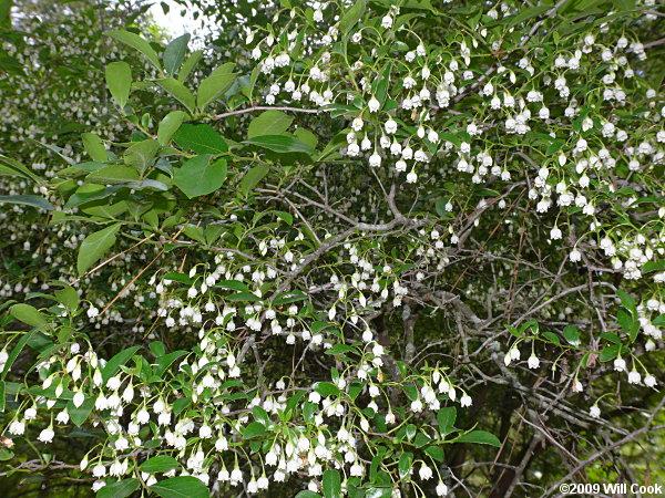Sparkleberry Vaccinium Arboreum