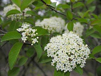 Blackhaw viburnum prunifolium mightylinksfo