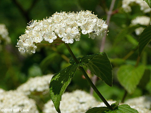 Downy Arrowwood Viburnum Rafinesquianum