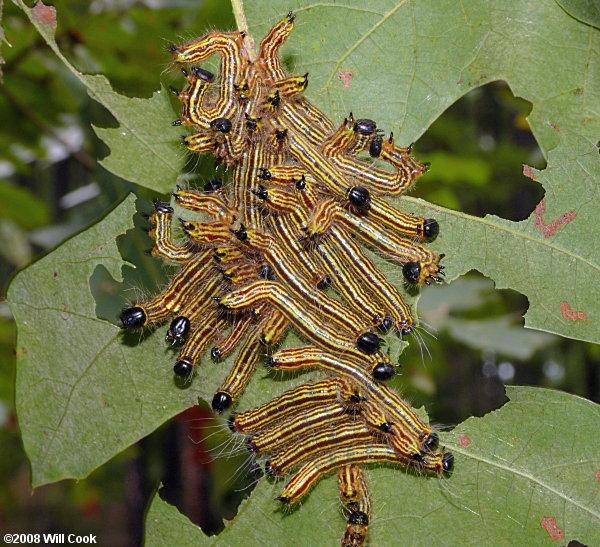 Moth Caterpillar Identification Chart: Moth Caterpillar Photos