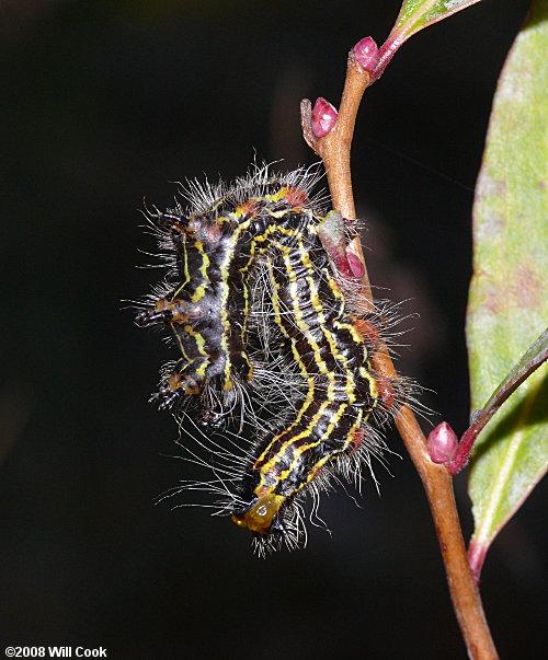 Moth Caterpillar Photos