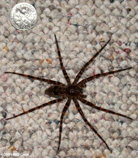 Dolomedes Tenebrosus Fishing Spider