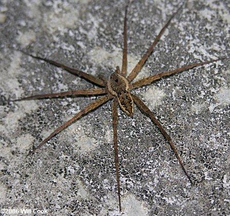 Dolomedes Vittatus Fishing Spider
