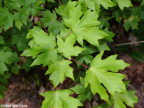 Southern Sugar Maple Acer Floridanum