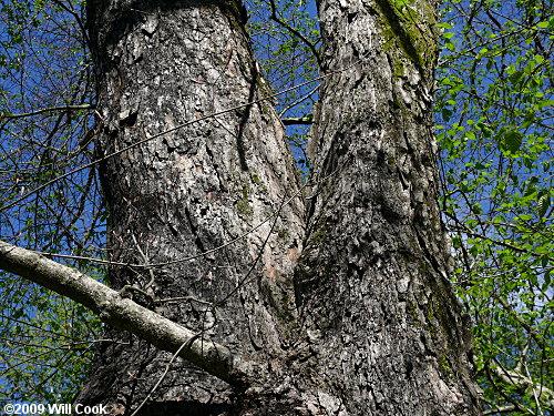 Sugar Maple Acer Saccharum