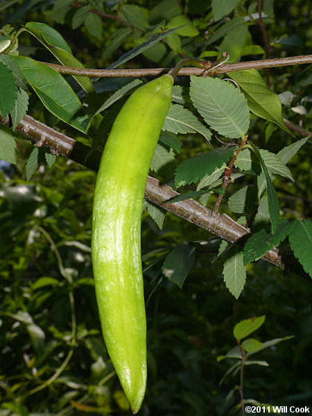 Crossvine Bignonia Capreolata