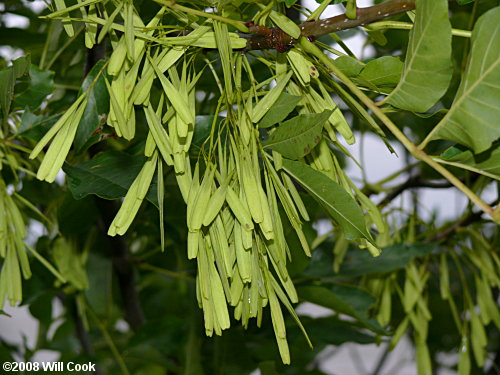 Green Ash Fraxinus Pennsylvanica