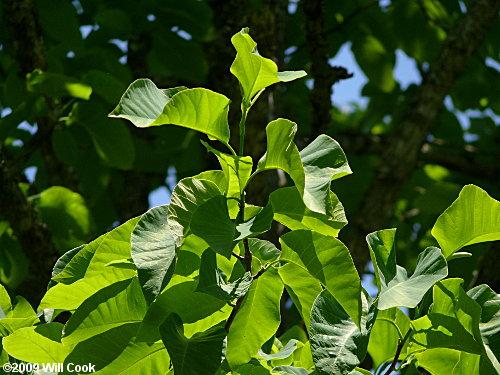 Cucumber Tree Magnolia Acuminata