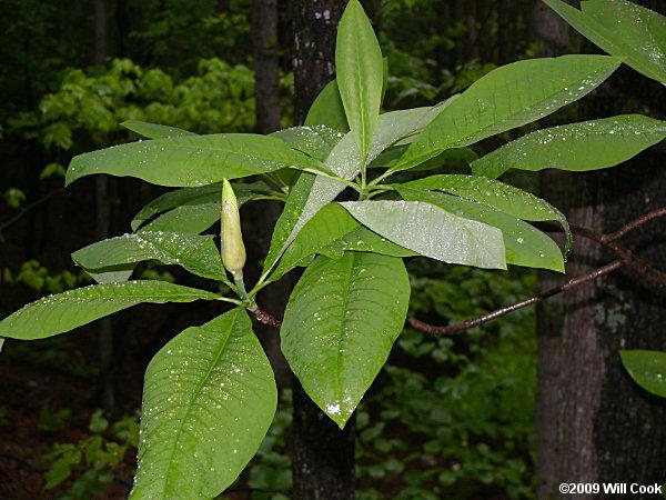 Umbrella Tree Magnolia Tripetala