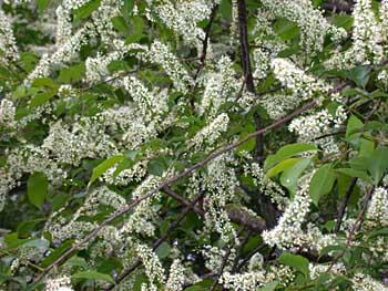 Black Cherry Prunus Serotina Flowers