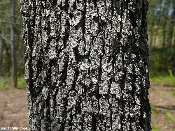 Sand Post Oak Quercus Margaretta