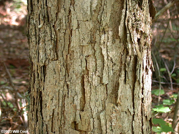 Swamp Chestnut Oak Quercus Michauxii