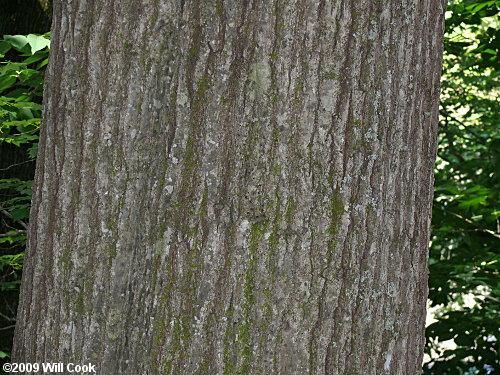Northern Red Oak Quercus Rubra
