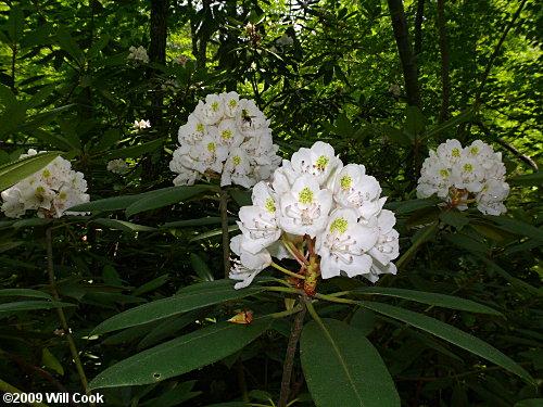 Rosebay Rhododendron Rhododendron Maximum